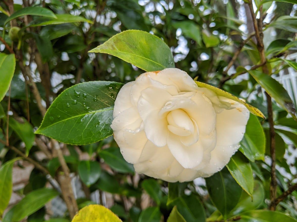 White camellia Jan 2020